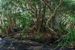 Erskine Creek plants: Machaerina insularis, Dracophyllum fitzgeraldii, Pandanus forsteri (NettyA) Tags: trees plants water creek rocks stream australia hike nsw day6 bushwalk unescoworldheritage pandanus lordhoweisland 2016 lhi forsteri dracophyllum cyperaceae arfp erskinecreek mtgower lhrfp arfsedge machaerina dracophyllumfitzgeraldii pandanusforsteri syzygiumfullagarii machaerinainsularis gnarledmossycloudforest janetteasche lordhoweforclimate mtgowerclimb erskinevalley