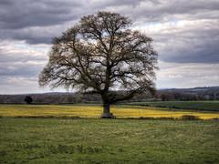 Tree near Northington, Hampshire (neilalderney123) Tags: uk england tree rural seat hampshire canola rapeseed wincester 2016neilhoward