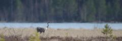 Grus grus (Wanha-Erkki, Old Eric, Gammal Erik, ) Tags: crane heathaze grusgrus kurki lmpvreily