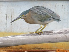 Butorides striatus 5 (barryaceae) Tags: road australia nsw tuncurry piont ausbird ausbirds