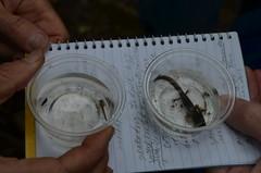 JBWS_5324 (RachelGauzaGronert) Tags: salamander larvae spottedsalamander marbledsalamander jugbaywetlandssanctuary