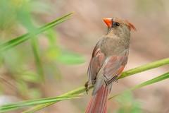 Who is behind me? (kapros76) Tags: travel portrait bird nature cardinal florida wildlife