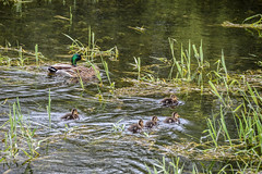 Duck Moat (Le monde d'aujourd'hui) Tags: england water duck spring duckling ducks ducklings palace hampshire mallard moat bishopswaltham