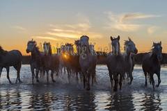 40080898 (wolfgangkaehler) Tags: sunset horse france water french europe european wetlands marsh herd marshland wetland eveninglight camargue southernfrance marshlands 2016 camarguehorses