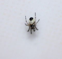 ID PLease (Sybalan,) Tags: macro scotland argyll size indoors westcoast unidentified 1mm bathroon spiderlings 8legs cowal arcahnoid