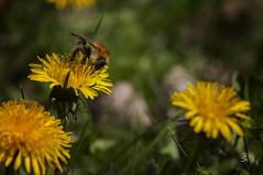Endlich Frhling (sirona27) Tags: wiese mai sonne biene frhling nektar blten lwenzahn