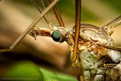 Green-eyed Crane Fly          #cranefly   #insects   #bugs  #greeneyed #macro #macrophotography #nature #naturephotography #wildlife #wildlifephotography #fineart #fineartphotography #promotephotography #raymanningphotography (raymanningphotography) Tags: macro nature wildlife fineart insects bugs fineartphotography cranefly naturephotography greeneyed macrophotography wildlifephotography promotephotography raymanningphotography