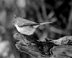 When you have a ........ (l_dewitt) Tags: native birdwatching birdwatcher nikonphotos backyardwildlife wildlifeimages naturephotos brushpile wildbird backyardbirds wildlifephotos backyardbirdwatching natureimages northamericanwildlife connecticutwildlife newenglandwildlife titmousephotos tuftedtitmousephotos nationalwildlifemagazinephotogrouppool earthnaturelife nikonimages earthlifenature nikond5000photos brushpileimages brushpilewildlife titmouseimages nikonwildlifephotos
