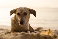 seychelles dog (felipeepu) Tags: sunset sea dog beach seychelles