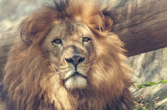 leon (mamonto_70) Tags: zoo colombia lion leon felinos medellin cautiverio antioquia leones suramerica airelibre 2016 zoologico nikond90 areametropolitana valledeaburra