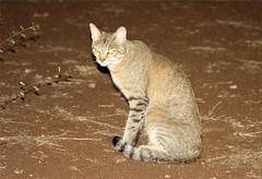 Felis sylvestris (African Wildcat) (Nick Dean1) Tags: macro animal cat canon southafrica predator wildcat animalia krugernationalpark satara chordata africanwildcat felissylvestris canon7d