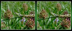 Melanoplus Bivittatus, Two-Striped Grasshopper Nymph 1 - Cross-eye 3D (DarkOnus) Tags: macro closeup insect stereogram 3d crosseye pennsylvania panasonic stereo grasshopper nymph stereography buckscounty crossview melanoplus bivittatus twostriped dmcfz35 darkonus