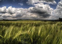 Barley near Itchen Abbas. Hampshire (neilalderney123) Tags: summer cloud barley rural landscape cornfield farm grain omd greenolympus neilhoward