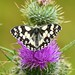 Marbled White; A Reminder of Summer