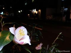 Camellia japonica (Shiori Hosomi) Tags: flowers plants japan night tokyo nocturnal february camellia    2016    theaceae noctuary  theales flowersinthenight noctivagant 23