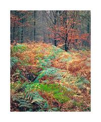 Ferns in 'Speulder bos' Netherlands. (Bert Vliegen) Tags: nature netherlands forest nederland natuur kodakektachromee100vs speulderbos howtekd4000 chamonix45n2 rodenstocksironars180mm