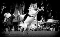 La yegua blanca (Eduardo Amorim) Tags: horses horse southamerica argentina criollo caballo cheval caballos cavalos pferde herd cavalli cavallo cavalo gauchos pferd ayacucho chevaux gaucho cavall  amricadosul gacho amriquedusud provinciadebuenosaires  gachos  sudamrica suramrica amricadelsur sdamerika crioulo caballoscriollos criollos jineteada  tropillas buenosairesprovince americadelsud gineteada tropilhas tropilla crioulos cavalocrioulo americameridionale tropilha caballocriollo eduardoamorim cavaloscrioulos