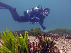 Rob (richard ling) Tags: seaweed underwater au manly australia scuba diving nsw algae caulerpa greenalgae chlorophyta shellybeachmanlynsw chlorophyceae caulerpales caulerpaceae caulerpafiliformis bootstrapcaulerpa