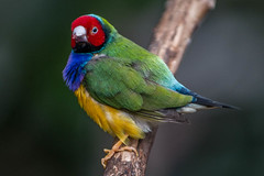Gouldian Finch  Bloedel Conservatory (MarksGonePublic) Tags: finch gouldian bloedelconservatorybloedel conservatoryvancouver