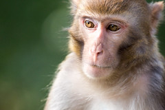 _MG_2546 (tsin_wah) Tags: monkey    5dmark3 sigma150600mmcontemporary