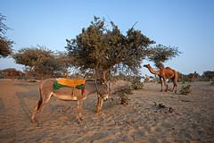 Nomad (Awais Yaqub) Tags: pakistan desert donkey camels herd sindh thar