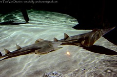 Gitaarrog - Glaucostegus typus - shovelnose ray (MrTDiddy) Tags: fish nose ray shovel vis antwerpen rog gitaar aquatopia typus shovelnose gitaarrog glaucostegus