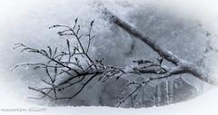 Twig In Ice (maureen.elliott) Tags: winter blackandwhite snow ice nature closeup branch encased twig