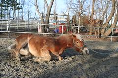 2008 Sarah (gill4kleuren - 11 ml views) Tags: life horse me sarah fun outside happy young running 2008 saar paard haflinger