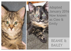 Beanie-Bailey-Adopted (Ali Crehan) Tags: cat kitten january shelter 2016