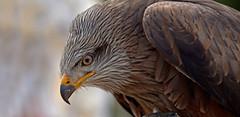 Red kite (pe_ha45) Tags: redkite milvusmilvus milanroyal milanoreal milhafrereal nibbioreale rotimilan