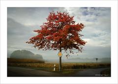 'my tree' in it's autumn dress (ekkiPics) Tags: autumn red colour tree fall herbst baum lonetree ortenau
