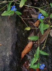 Commelina diffusa, Obelisk Beach, Sydney, NSW, 25/01/16 (Russell Cumming) Tags: plant sydney newsouthwales commelinaceae obeliskbeach commelina commelinadiffusa