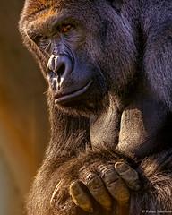 Intimidating (Robert Streithorst) Tags: harambe cincinnatizoo simplysuperb zoosofnorthamerica robertstreithorst
