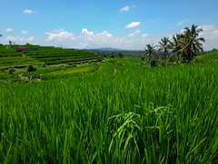 Green ocean. (ruj*) Tags: bali green nature rice fields jatiluwih