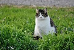 Gatto 1 (edmondo rizzo) Tags: gatto guardia animaledomestico mammiferi animalidomestici oasidibentivoglio viavietta