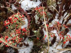 Cladonia cristatella (British Soldiers Lichen) (Plant Image Library) Tags: march massachusetts soldiers british lichen cladonia 2016 foliose cristatella