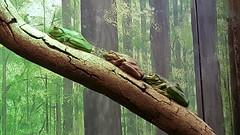 Taronga Zoo (Carrie Ellingson) Tags: travel travelling animals zoo sydney australia frog wanderlust tarongazoo