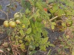 Solanum lycopersicum 4 (heinvanwinkel) Tags: oktober nederland 2008 ooipolder tomaat solanaceae magnoliidae solanales spermatophyta solanumlycopersicum tracheophyta solaneae euphyllophyta solanoideae lamianae bloemvandedag solanineae