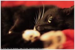 Eye   Oog   Глаз (Dit is Suzanne) Tags: img4846 16022016 ©ditissuzanne canoneos40d canonef50mmf14usm kat kater кот cat zwartwittekat blackandwhitecat чернобелыйкот vasya вася kotvasya котвася oog eye глаз beschikbaarlicht availablelight views150