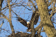 BALD EAGLES - SQUIRREL FOR DINNER (nsxbirder) Tags: squirrel baldeagle indiana haliaeetusleucocephalus brookville whitewaterriver leveeroad