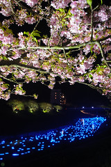 20160305-DSC_2339.jpg (d3_plus) Tags: street sea sky plant flower nature japan spring nikon scenery nightshot cloudy bloom  cherryblossom  sakura lightup nightview 28105mmf3545d nikkor    shizuoka    izu   28105   rapeblossom    28105mm  zoomlense  minamiizu    kawazuzakura    28105mmf3545 d700 281053545  nikond700 shimokamo aiafzoomnikkor28105mmf3545d nightcherryblossom 28105mmf3545af    southcherryblossomandrapeblossomfestival aiafnikkor28105mmf3545d shootingstarsandsakurainnight sakurainnight