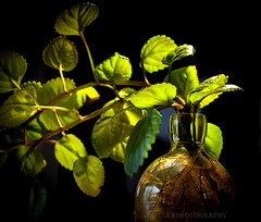 back to the roots (Fay2603) Tags: light plants brown black green nature water blackbackground bottle background roots