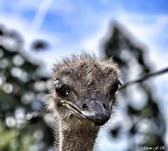 Santander (Mirem44) Tags: avestruz santander cantabria