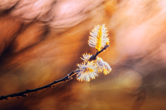 Bloom | Diaplan 80mm/f2.8 projector lens | Explored on 2016.03.30 (Psztor Andrs) Tags: sunset red orange color tree nature yellow forest lens photography leaf spring aperture nikon hungary mood dof projector blossom bokeh outdoor fine wide grlitz bark manual dslr f28 meyer andras 80mm optik pasztor d5100 diaplan