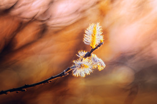 Bloom | Diaplan 80mm/f2.8 projector lens | Explored on 2016.03.30