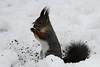 Punaorav (Tarmo Gede) Tags: squirrel sciurusvulgaris orav eurasianredsquirrel punaorav