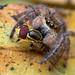 Phidippus princeps jumping spider with prey