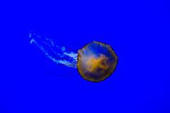 Swimming Jellyfish 1 (cimp8499) Tags: oregon aquarium jellyfish newport newportaquarium