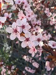 Genos das #primavera #almendros #almendrosenflor #arboles #flores #flower #rosace #prunus #prunusdulcis #bcn #barcelona #almondtree (Carolina_BCN) Tags: barcelona flores flower primavera arboles bcn rosace prunus almendros almondtree prunusdulcis almendrosenflor