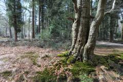 500 jaar Mastbos (Pieter Musterd) Tags: holland tree canon nederland boom canon5d breda lente arbre baum mastbos musterd pietermusterd 5dmarkii